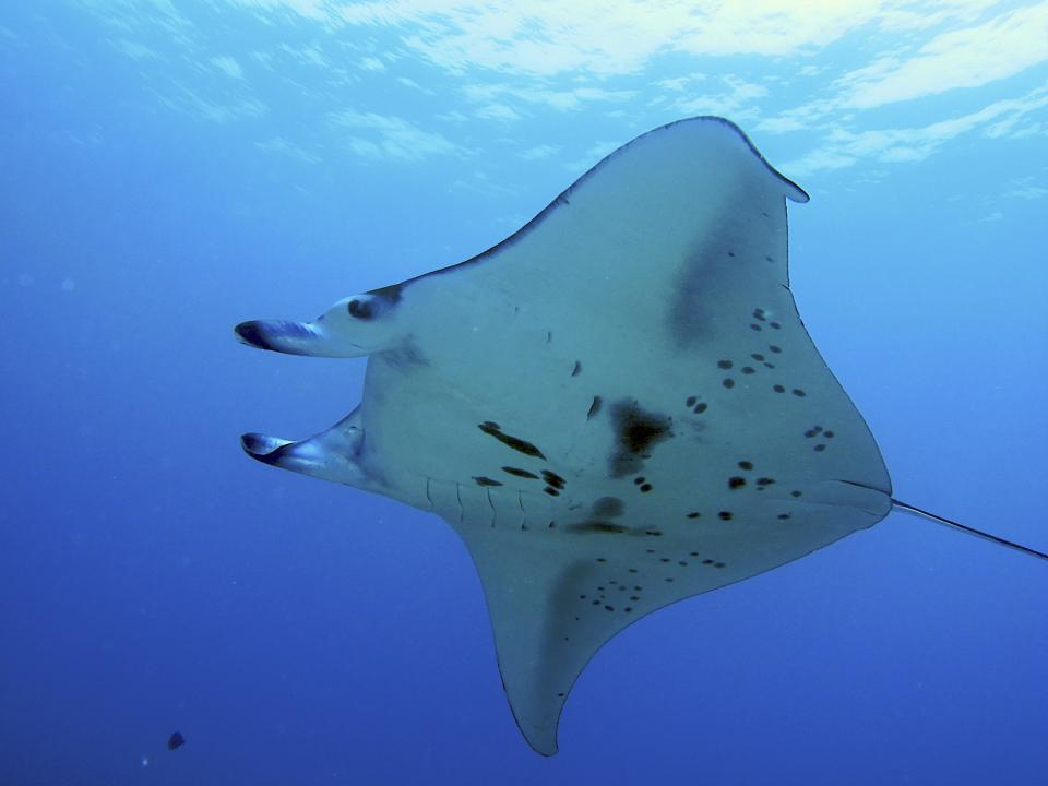 diving below a Manta